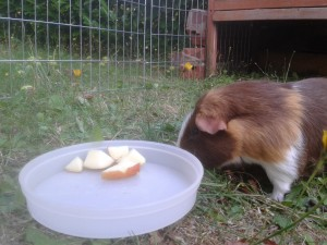can i give my guinea pig apples