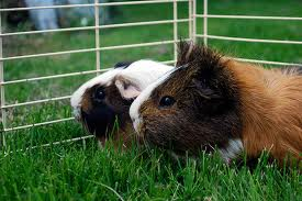 putting two guinea pigs together