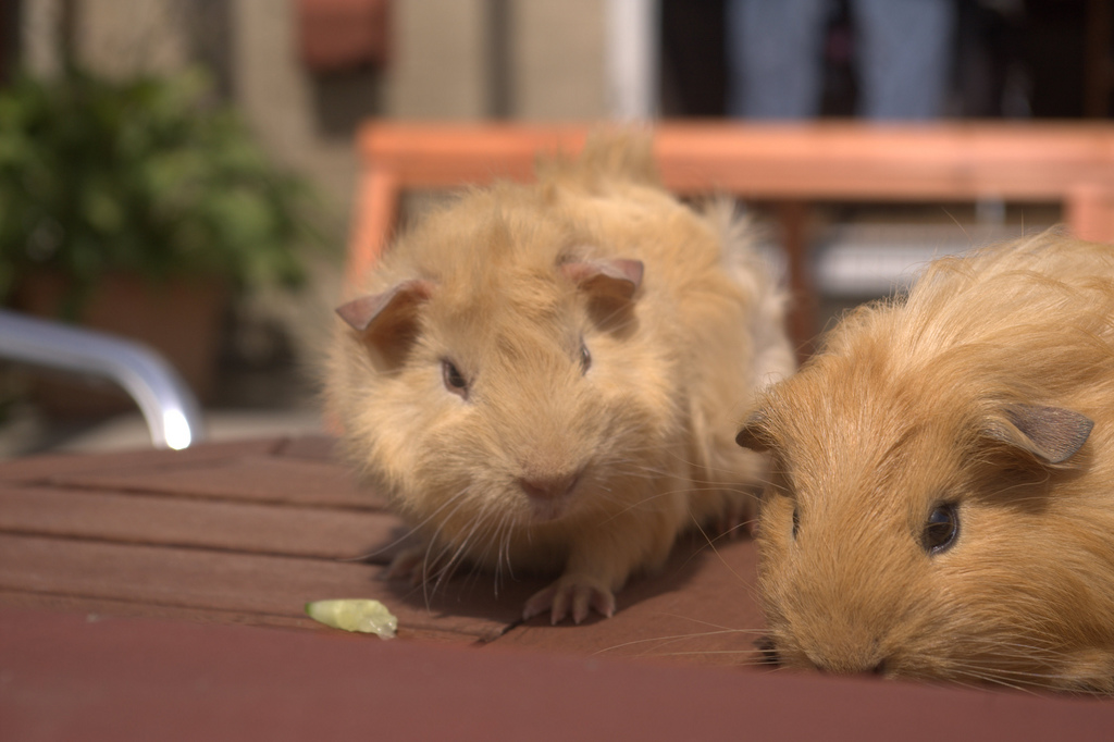 how to take care of two guinea pigs