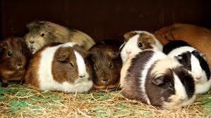 keep a guinea pig warm