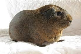 agouti guinea pig