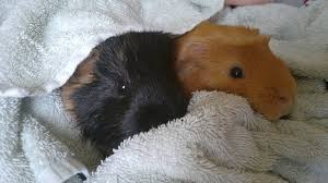 how do guinea pigs protect themselves