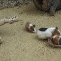 stop guinea pigs from fighting