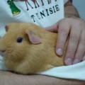 do guinea pigs like to be held