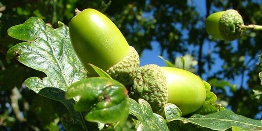 can guinea pigs eat acorns