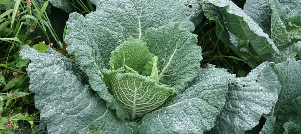 can guinea pigs eat savoy cabbage
