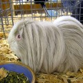 how often should I clean my guinea pigs cage