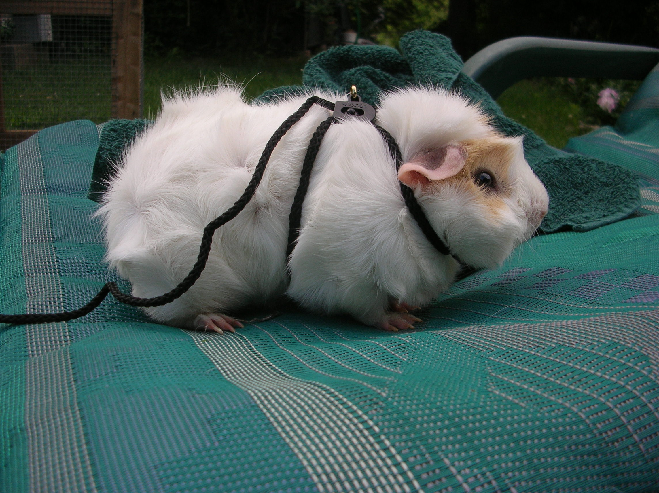 Can guinea pigs walk on a leash online guinea pig care publicscrutiny Image collections
