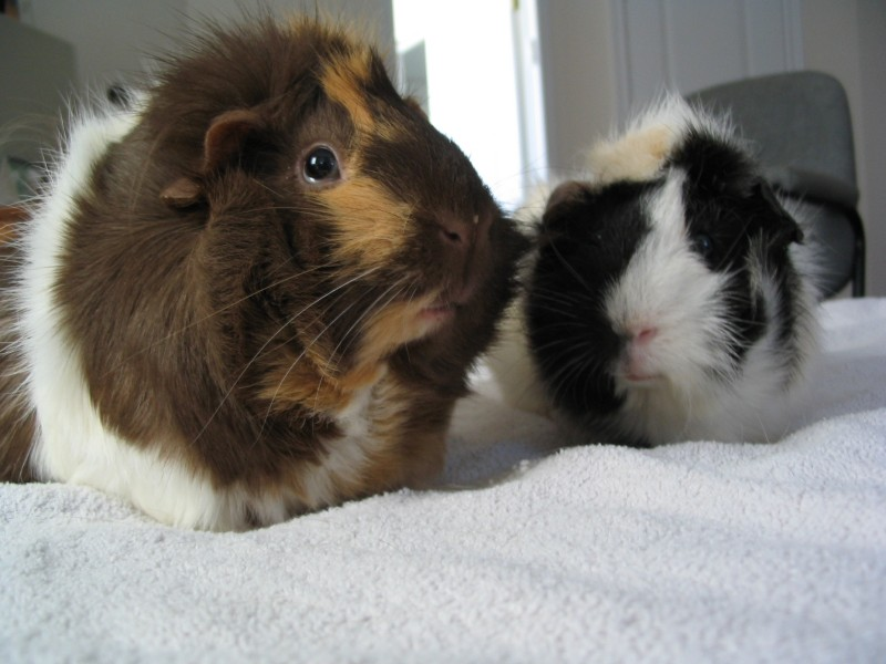 Can guinea pigs get colds online guinea pig care sciox Gallery