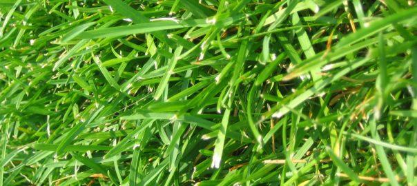 feeding grass to a guinea pig