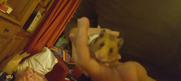 can guinea pigs eat hamster treats