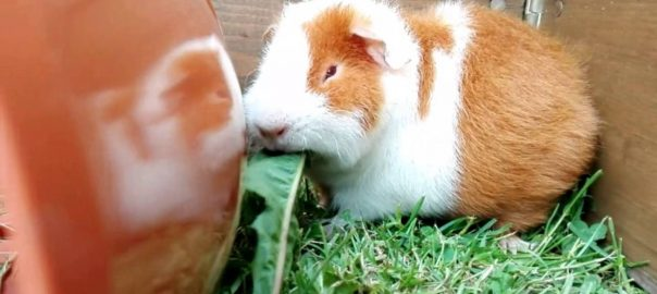 What should i do with my guinea pig during a storm