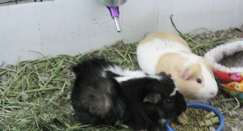 guinea pigs water