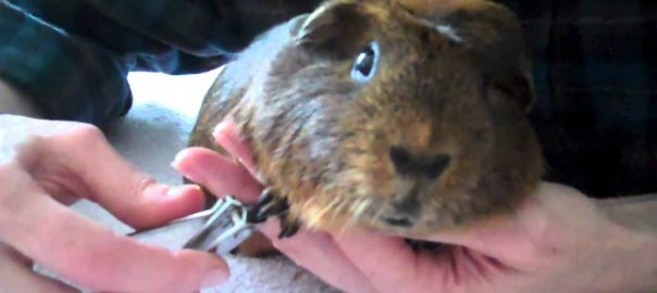 Basic Facts to Introduce You to Guinea Pigs