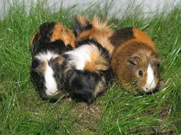 why guinea pigs make fantastic pets