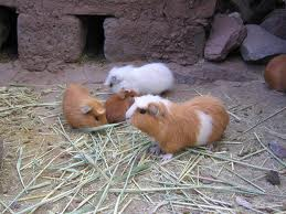 the sounds of guinea pigs