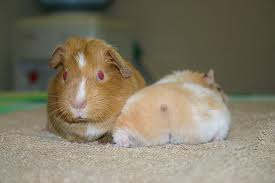 can hamsters and guinea pigs live together?