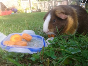 can guinea pigs eat carrots