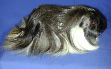 sheltie guinea pigs