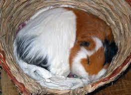 how do guinea pigs sleep