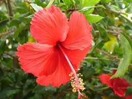 can guinea pigs eat hibiscus