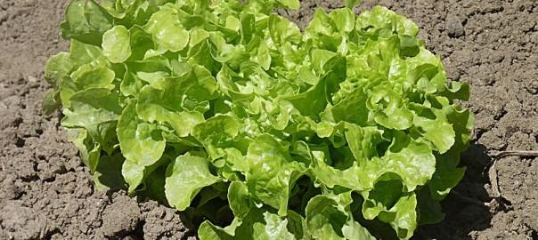 can guinea pigs eat green leaf lettuce
