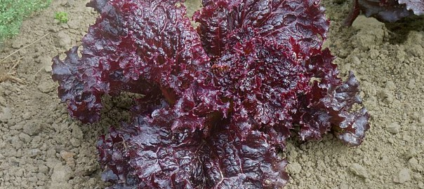 can guinea pigs eat red leaf lettuce
