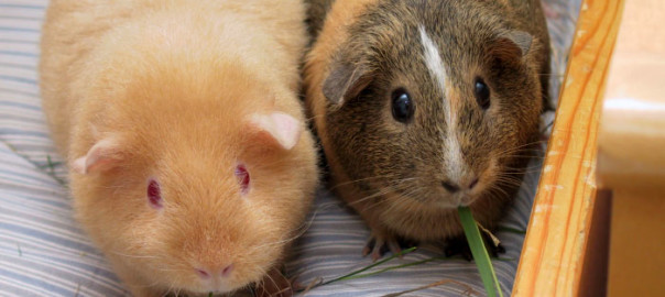 can guinea pigs share a cage