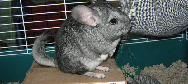 can you mix guinea pigs and chinchillas