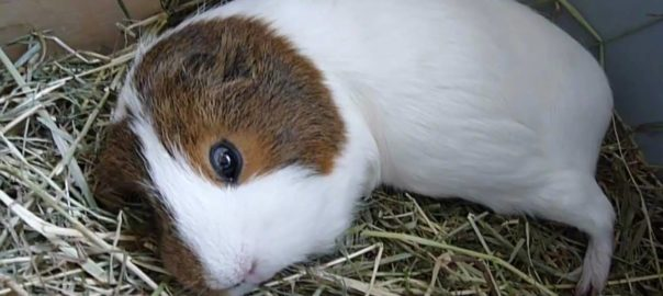 how long do guinea pigs sleep for