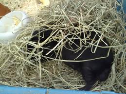 can guinea pigs eat only hay
