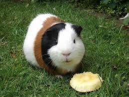 guinea pigs vs hamsters