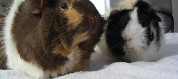 can guinea pigs get colds