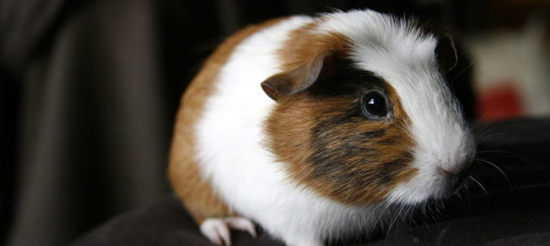 why do guinea pigs eat hair